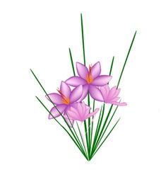 Purple Crocus Sativus Flower on White Background vector