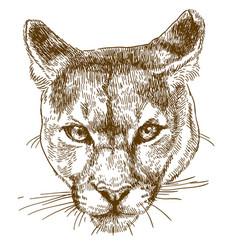 engraving of cougar head vector image
