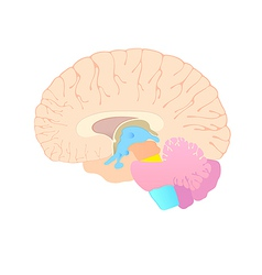 convolutions of the brain vector image vector image