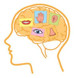 Human brain five senses vector
