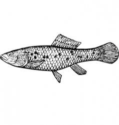 Fish ubmra krameri vector