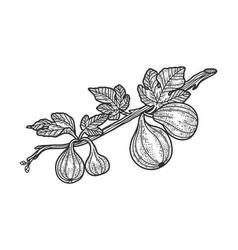 Common fig sketch vector