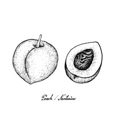 Hand drawn of peach or nectarine on white backgrou vector
