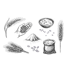 hand drawn wheat cereal spikelets barley in hand vector image