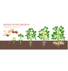peanut growing stages in flat vector image