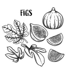 Graphic fig fruits and leaves isolated on white vector