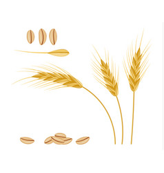 Whole stalks wheat ears spikelets with seeds vector