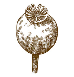 engraving of big poppy pod vector image