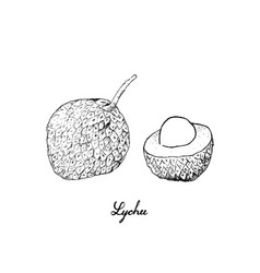 Hand drawn of lychee fruits on white background vector