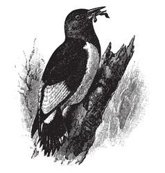 red headed woodpecker vintage vector image