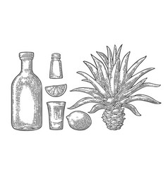 glass and botlle tequila cactus salt lime vector image