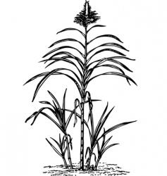 plant saccharum vector image