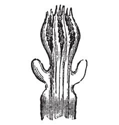 Polyp of tubipora musica vintage vector