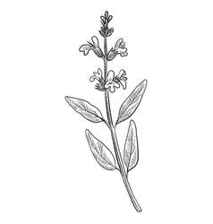 Drawing sage plant vector