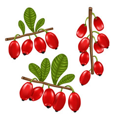 fresh barberry red realistic fruit design vector image