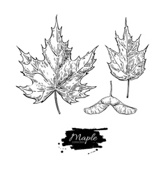 Maple leaves and seed drawing set Autumn vector