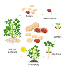 peanut growth stages in flat vector image