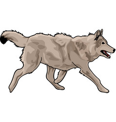 Running gray wolf vector