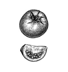 ink sketch of tomato vector image