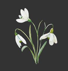 watercolor snowdrop flower vector image