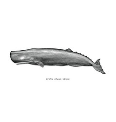 Sperm whale hand draw vintage engraving style vector