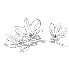 Hand drawn magnolia flowers vector image