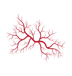 Human veins and arteries vector