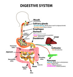 The human digestive system anatomical structure vector
