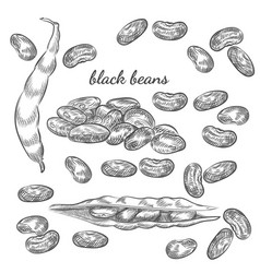 Black beans hand drawn sketch on white background vector