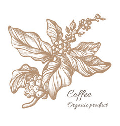 Coffee branch sketch vector