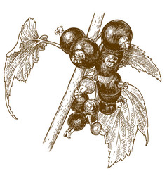 engraving currant berry vector image