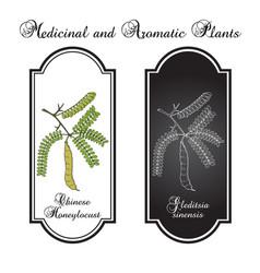 Honeylocust gleditsia sinensis medicinal plant vector