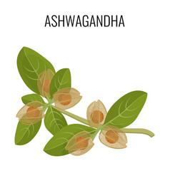 ashwagandha ayurvedic herb isolated on white vector image vector image