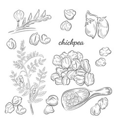 Chickpea plant hand drawn vector