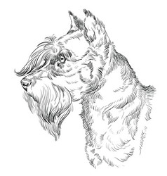 Miniature schnauzer hand drawing portrait vector