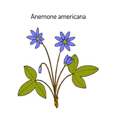 Anemone americana hepatica nobilis medicinal vector