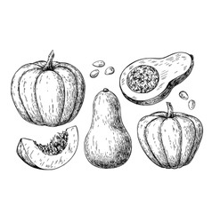 Pumpkin and butternut squash drawing set vector image