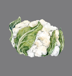 Watercolor cauliflower vector
