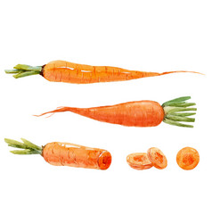 Watercolor carrot set vector
