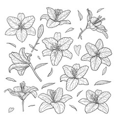 beautiful monochrome black and white set lily vector image