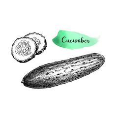 ink sketch of cucumber vector image