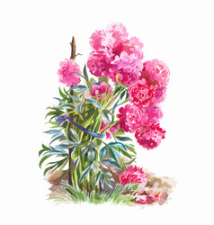 Bush garden peonies isolated watercolor vector