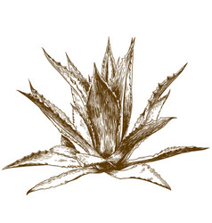 Engraving drawing agave vector