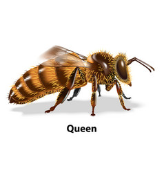queen bee on white background vector image
