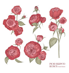 set of beautiful botanical drawings of red peony vector image