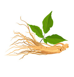 ginseng root herb for medicine and health vector image