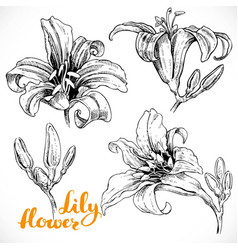 drawing lily flowers and buds ink on white paper vector image