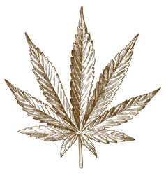 Engraving drawing cannabis leaf vector
