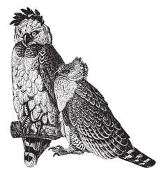 American harpy eagle vintage vector