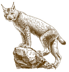 Engraving of lynx linx vector